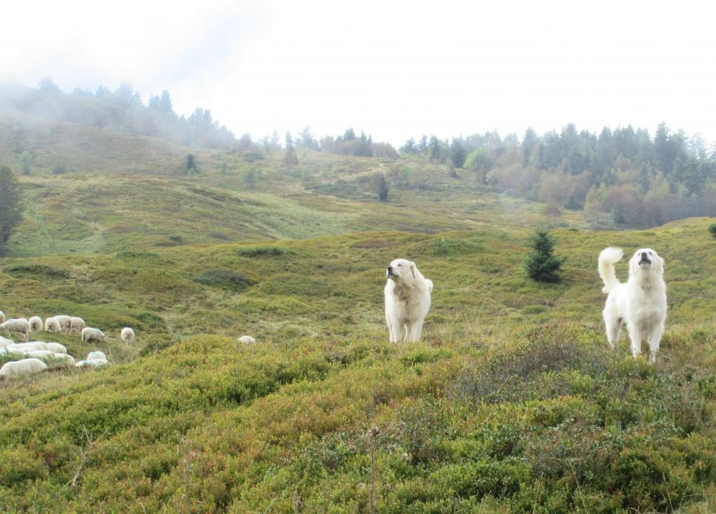 Sheepdogs guarding the herd